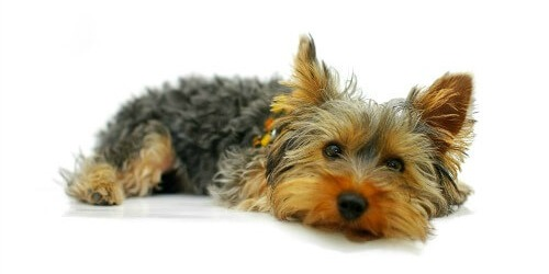 Yorshire Terrier
