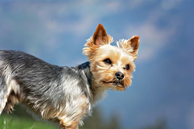 Yorkshire Terrier standing against a background of blue sky