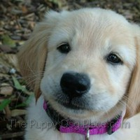 Zoe the Golden Retriever pupp